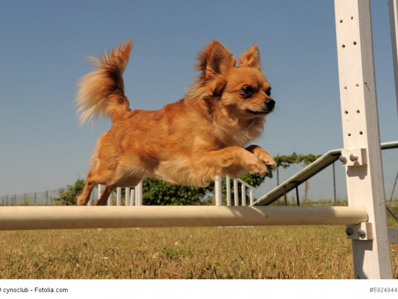 Chihuahuas können durchaus am Agility teilnehmen so lange du sie nicht überanstrengst