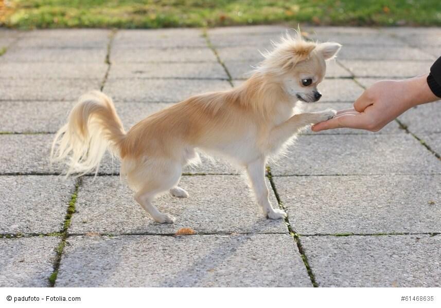 Chihuahua sind sehr kluge Tiere und lernen schnell
