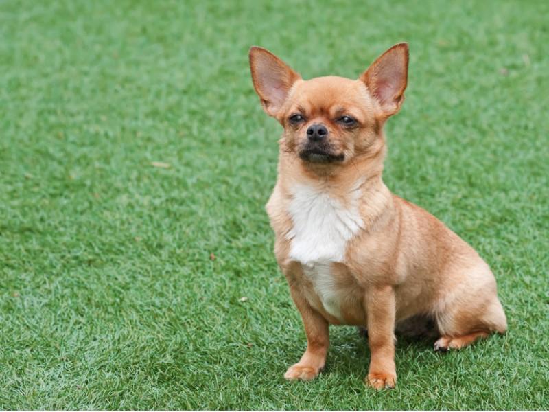 Bei Chihuahua gibt es verschiedene Fellfarben und -muster