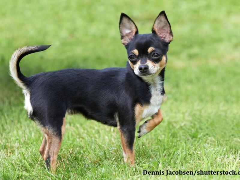 Wie alle Hunde brauchen auch Chihuahua nicht nur körperliche sondern auch geistige Herausforderungen