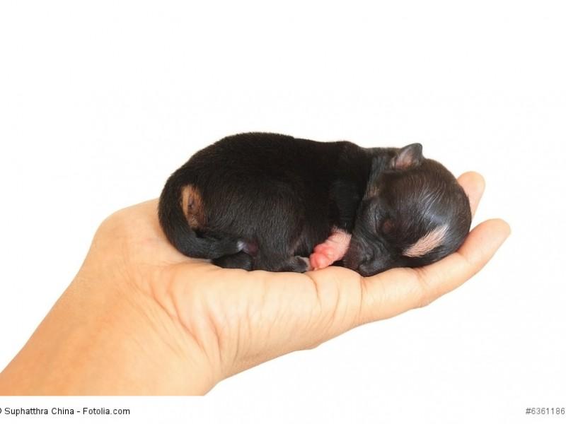 Neugeborene Chihuahua passen bequem auf eine Hand