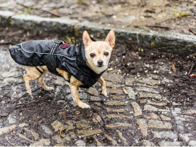 Kurzhaarige Chihuahua können im Regen durchaus auch frieren