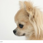 Das seitliche Portrait zeigt einen klassischen Chihuahua
