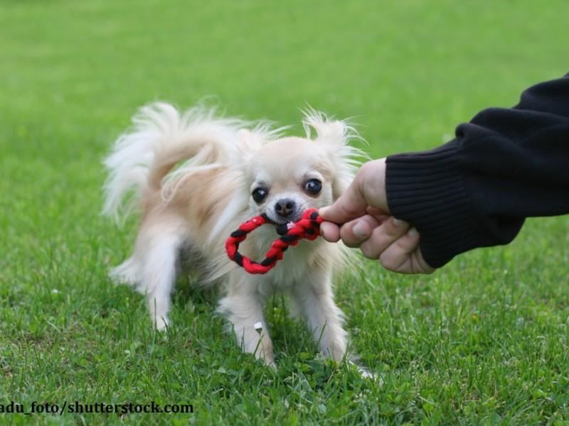Klein, aber oho! Chihuahuas sind mutige Tiere