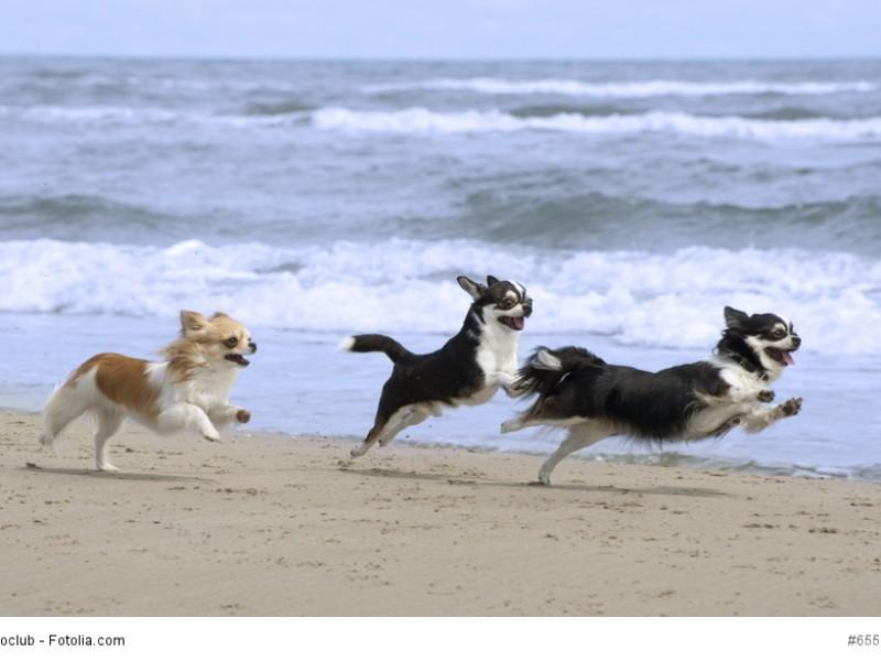 Chihuahuas sind sehr lebhaft und bewegen sich gerne