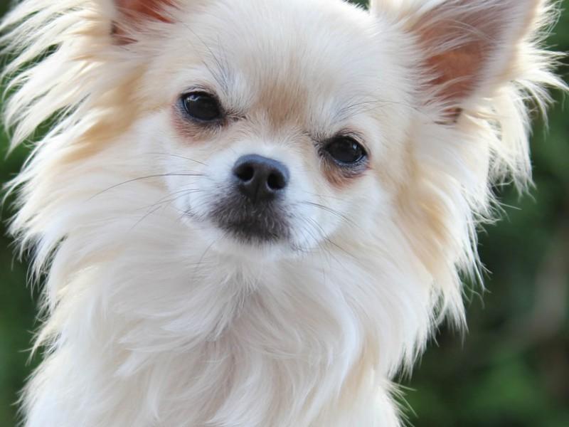 Ein weisser Chihuahua im Portrait