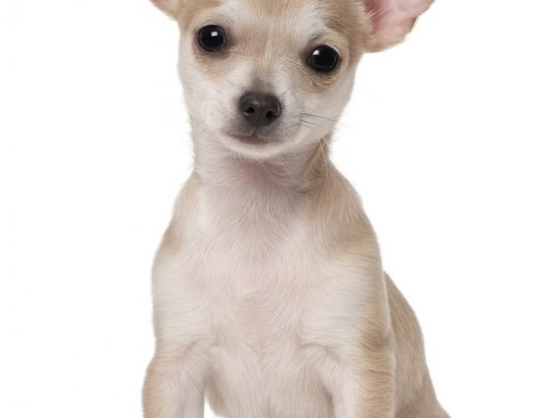 Kurzhaarige Chihuahua sind nicht ganz so bekannt wie ihre langhaarigen Vertreter
