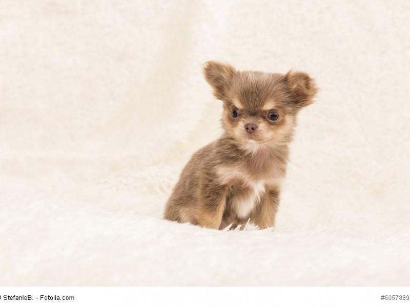 Chihuahuas-Welpen brauchen wie alle Hunde eine gute Erziehung