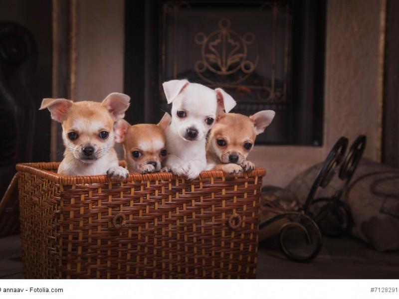 Chihuahua-Welpen sollten nicht zu früh getrennt werden