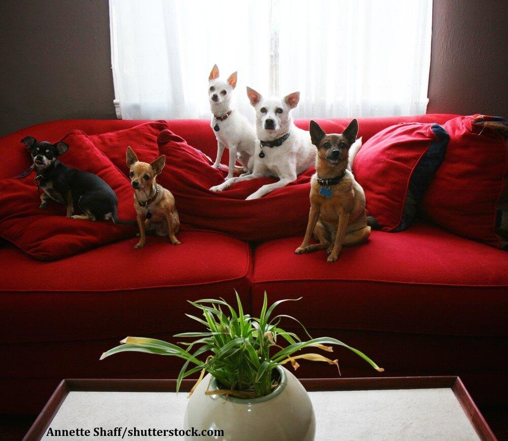Wer Chihuahuas als reine Schosshunde ansieht tut ihnen Unrecht