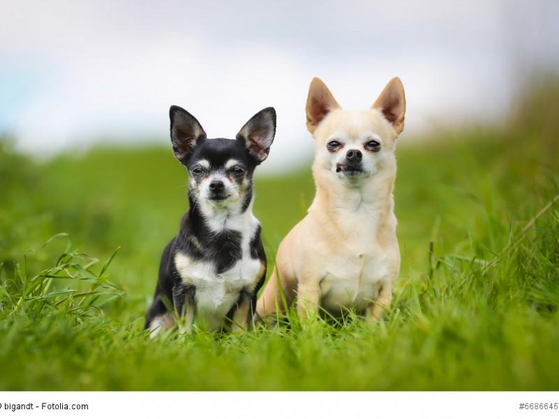 Bei den Chihuahuas gibt es auch kurzhaarige Vertreter