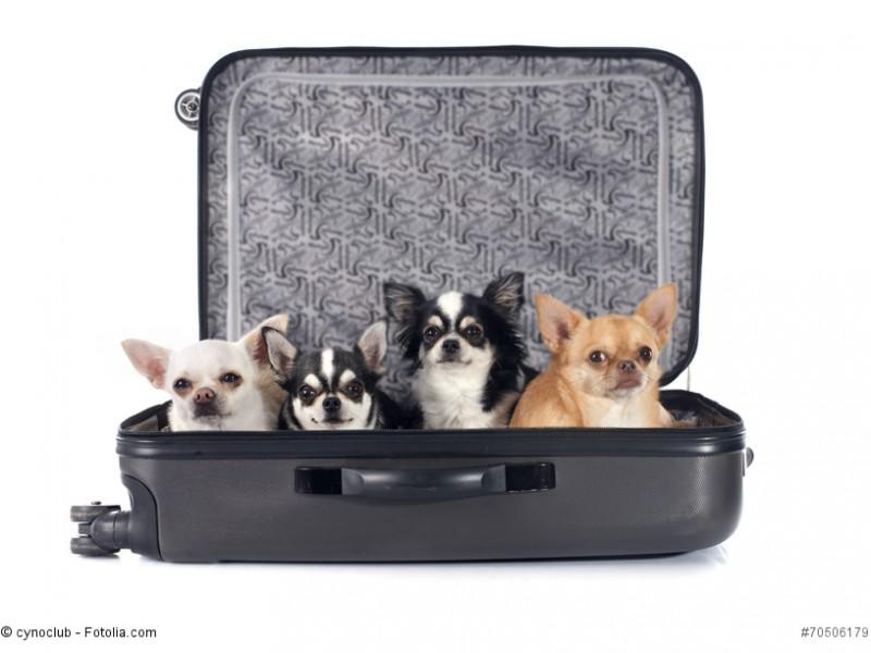 Chihuahuas sind die kleinste Hunderasse der Welt