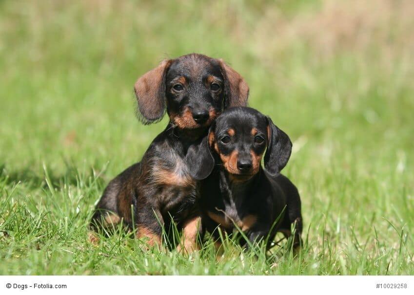 Zwei Dackelwelpen sitzen im Gras