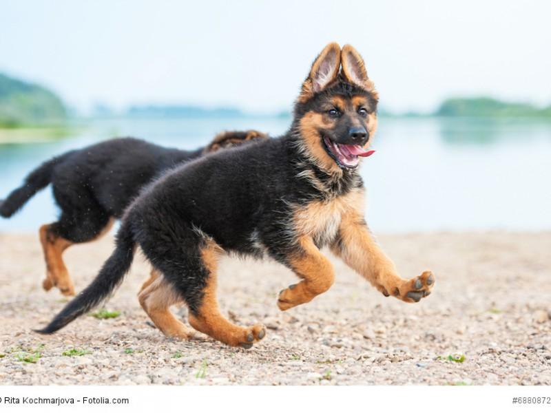 Nicht nur junge Schäferhunde brauchen viel Bewegung.