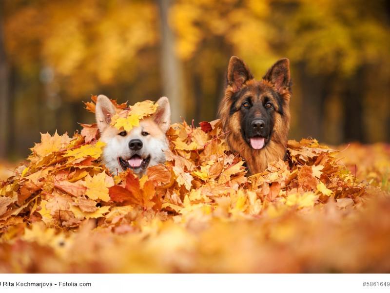 Du kannst deinen Schäferhund problemlos mit anderen Hunden vergesellschaften.
