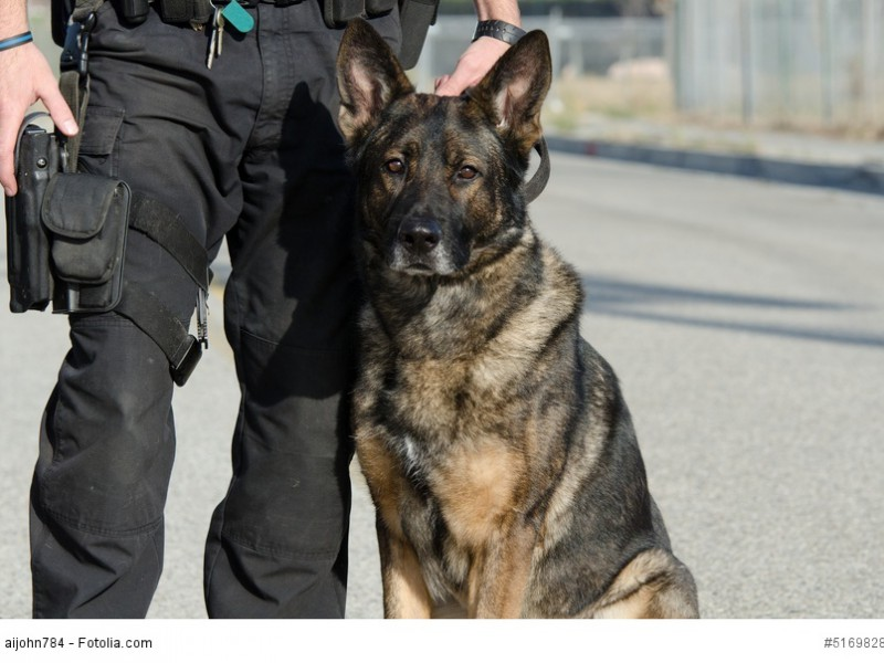 Deutsche Schäferhunde sind durch ihr tapferes und konzentriertes Wesen hervorragende Polizeihunde.