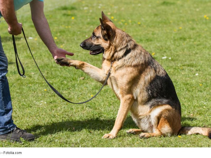 Ein Schäferhund braucht Bewegung und eine Aufgabe, auch wenn es nur Pfötchen geben ist.