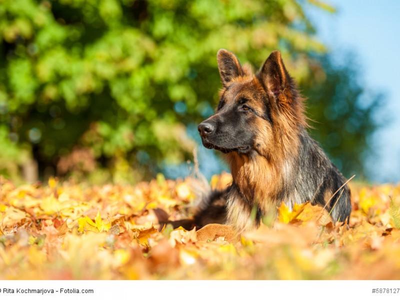 Wachsam, konzentriert, loyal, tapfer und selbstbewusst wird ein Deutscher Schäferhund beschrieben.