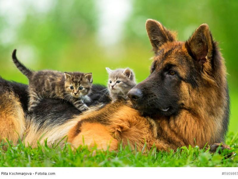 Ein Deutscher Schäferhund lässt sich viel gefallen ehe er die Geduld verliert.