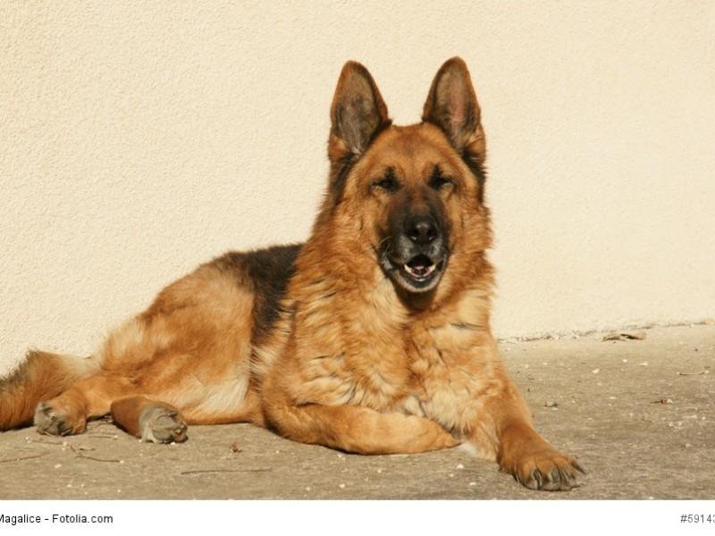 Das Fell eines Schäferhundes ist relativ pflegeleicht, du solltest es regelmäßig bürsten.