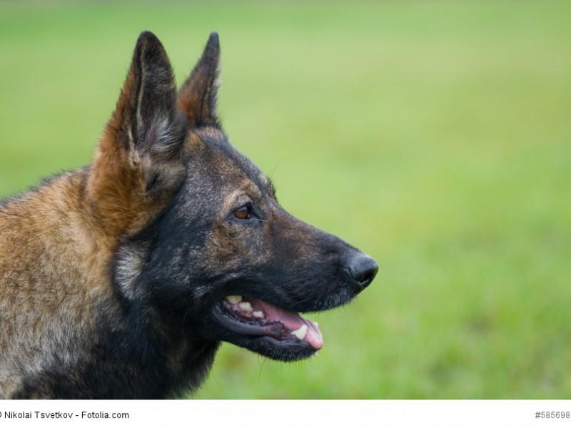 Deutsche Schäferhunde gibt es in verschiedenen Fellfarben.
