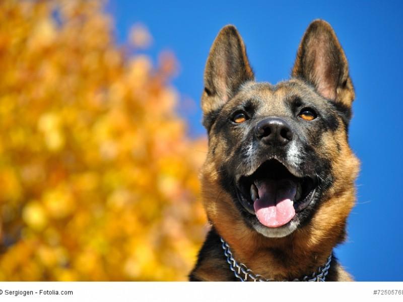 Mit einem Deutschen Schäferhund hast du einen zuverlässigen Wachhund an deiner Seite.