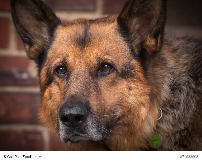 Wie viele ältere Hunde bekommen auch Schäferhunde einen grauen Bart