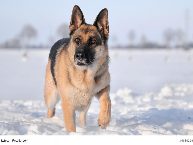 Deutscher Schäferhund mit aufmerksamen Blick im Schnee
