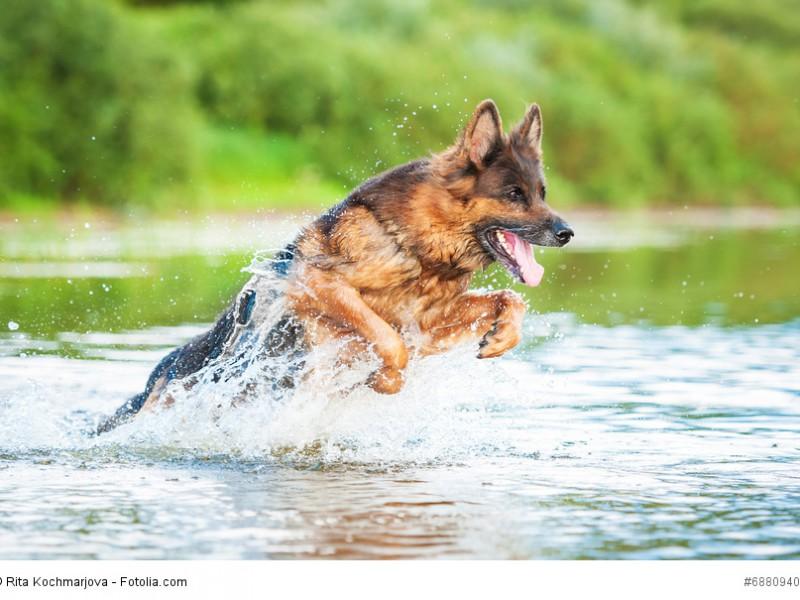 Durch seine Bewegungsfreude ist ein Deutscher Schäferhund nicht für eine Stadtwohnung geeignet.