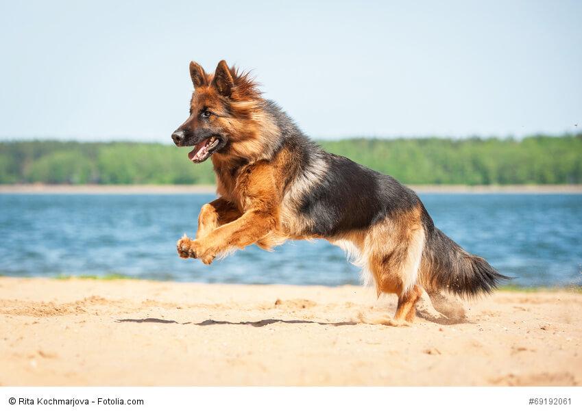 Deutsche Schäferhunde gibt es in vielen Farben.