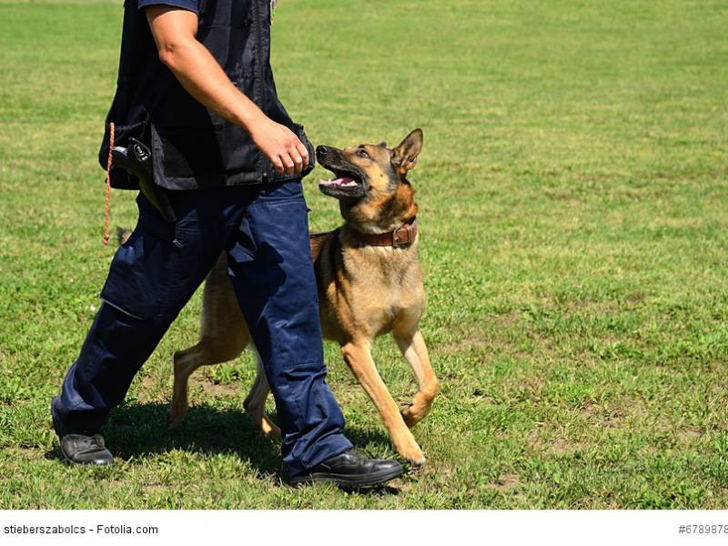 Deutsche Schäferhunde werden heute gerne als Diensthunde bei der Polizei oder dem Zoll eingesetzt.