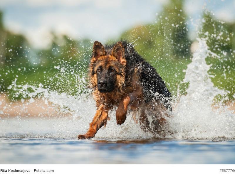 Auch Wasser macht Deutschen Schäferhunden nichts aus.