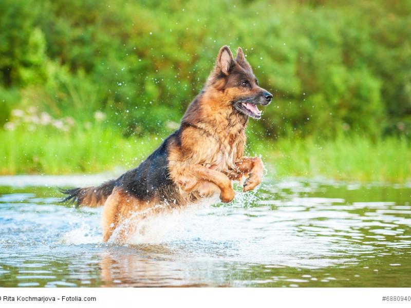 Schäferhunde brauchen ausreichend Bewegung, damit sie ausgeglichen bleiben.