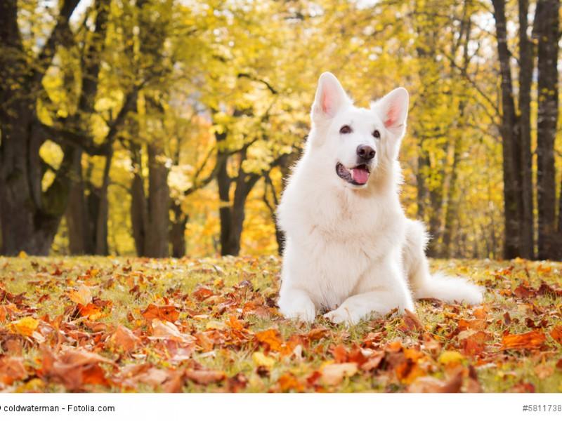 Weisser Schäferhund im goldenen Herbstwald