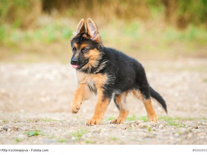 Junge Hunde brauchen viel Bewegung und noch mehr liebevolle aber konsequente Erziehung.