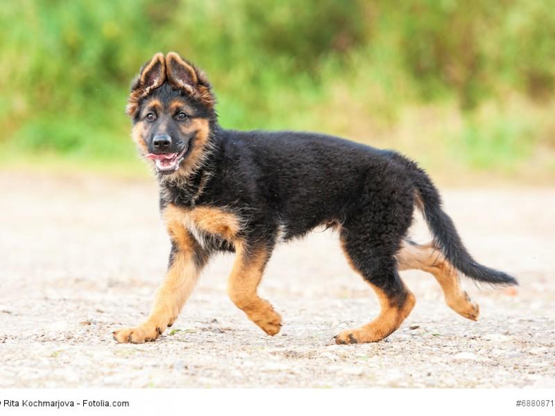 Ein junger Deutscher Schäferhund mit der charakteristischen Ohrstellung.