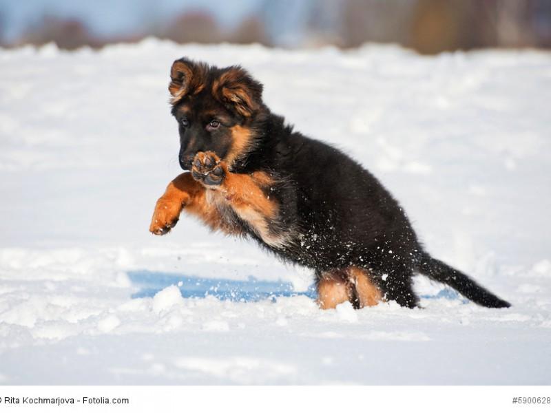 Kälte macht Deutschen Schäferhunden nichts aus.