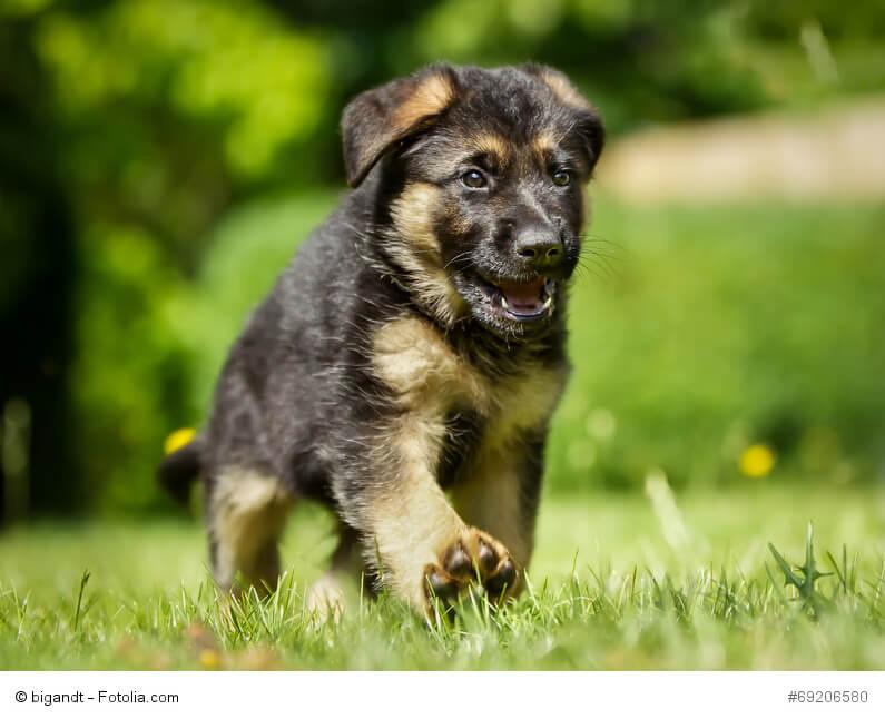 Wie alle Hundewelpen dürfen auch Deutsche Schäferhunde nicht zu früh abgegeben werden.