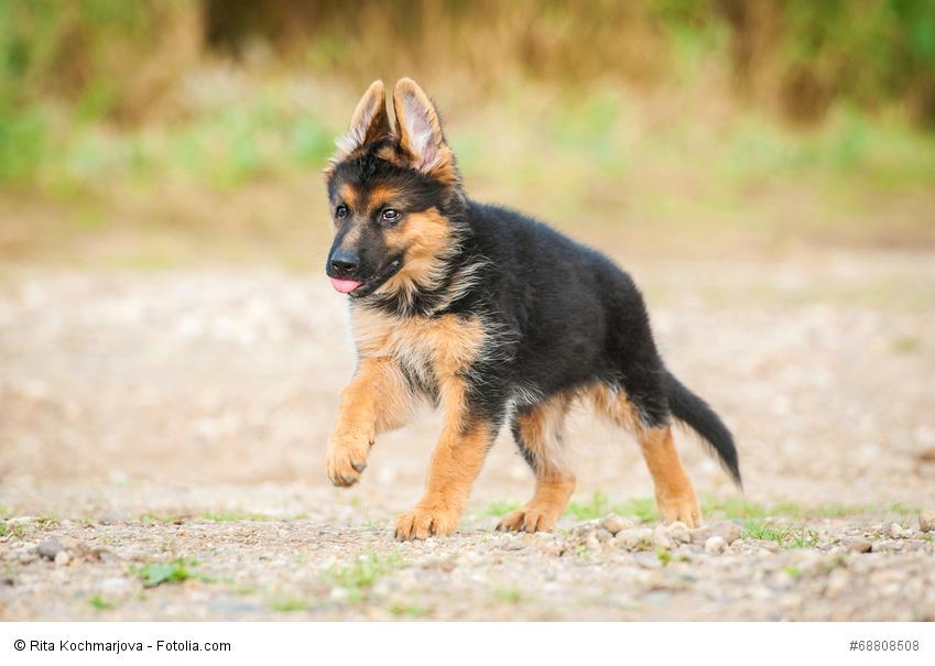 Deutscher Schaferhund Steckbrief Fci Klasse Wesen Haustiermagazin