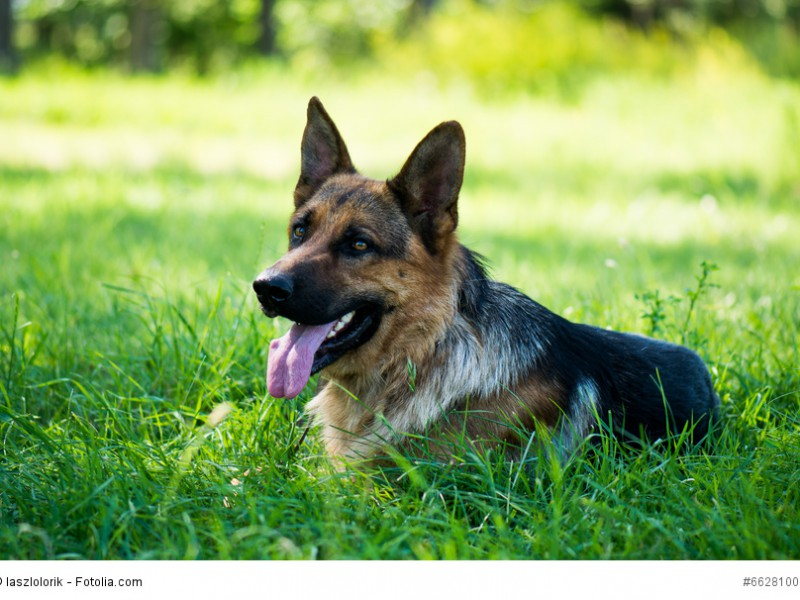 Deutsche Schäferhunde gehören zu den beliebtesten Hunderassen weltweit.