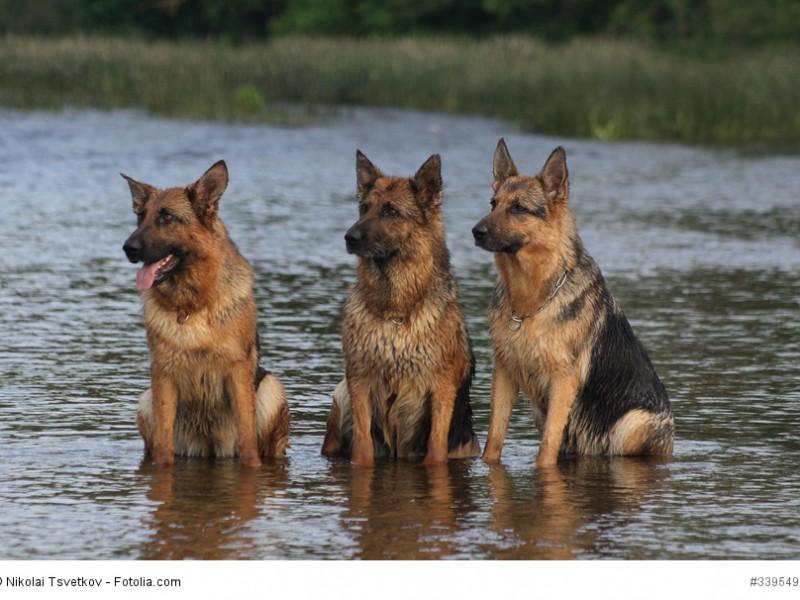 Deutsche Schäferhunde sind gesellige und verträgliche Hunde.