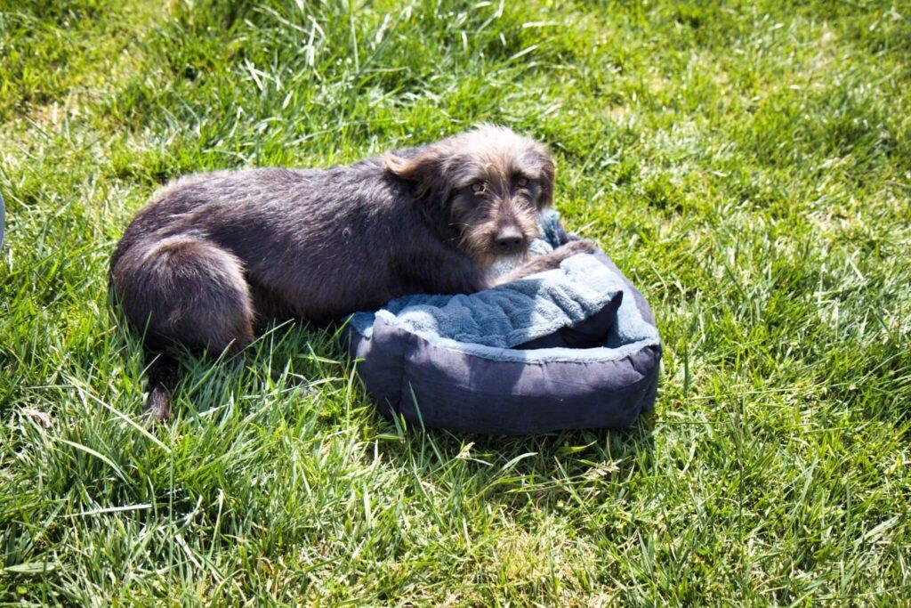 Guinness stellt fest, dass man mit 10 Monaten kein Welpe mehr ist. Kuscheln mag er mit dem Hundebettchen von dibea aber trotzdem gerne.