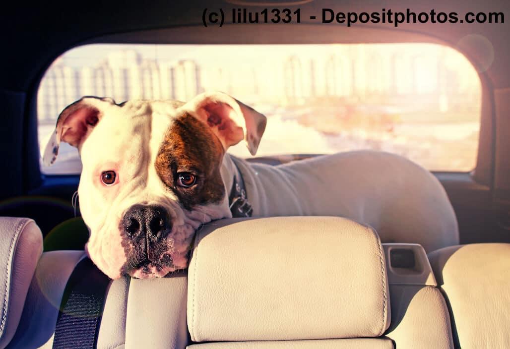 Eine amerikanische Bulldogge steht in einem Kofferraum und legt den Kopf auf der Rückenlehne des Rücksitzes ab.