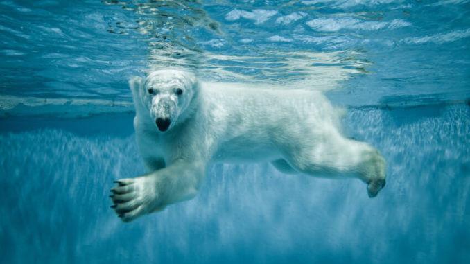 Unter wasser schwimmender Eisbär