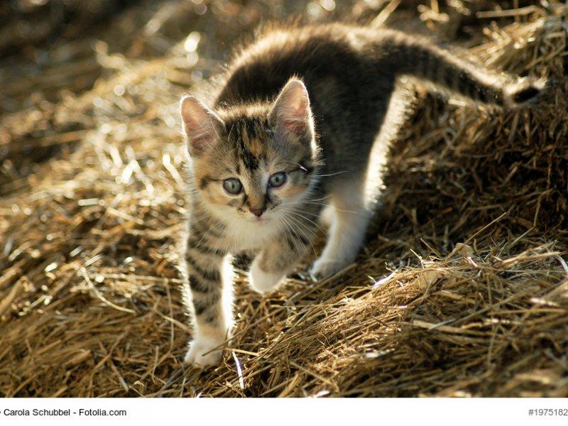 Europäisch Kurzhaar Kitten