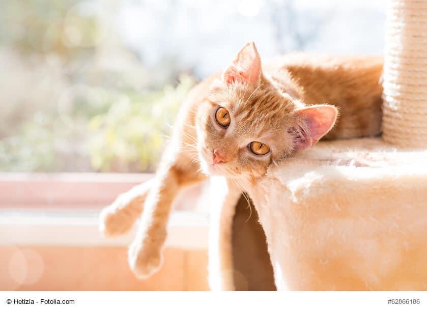 Rotgetigerte Europäisch Kurzhaar liegt auf einem Katzenmöbel und lässt die Beine baumeln.