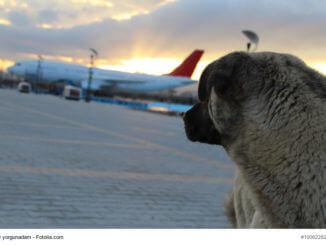 Ein großer Hund blickt in Richtung eines Flugzeugs
