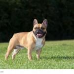 Das klassische Bild einer Französischen Bulldogge.