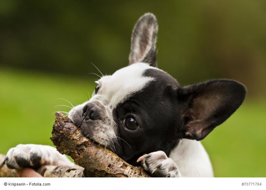 Kleiner Welpe will mal eine starke Französische Bulldogge werden.