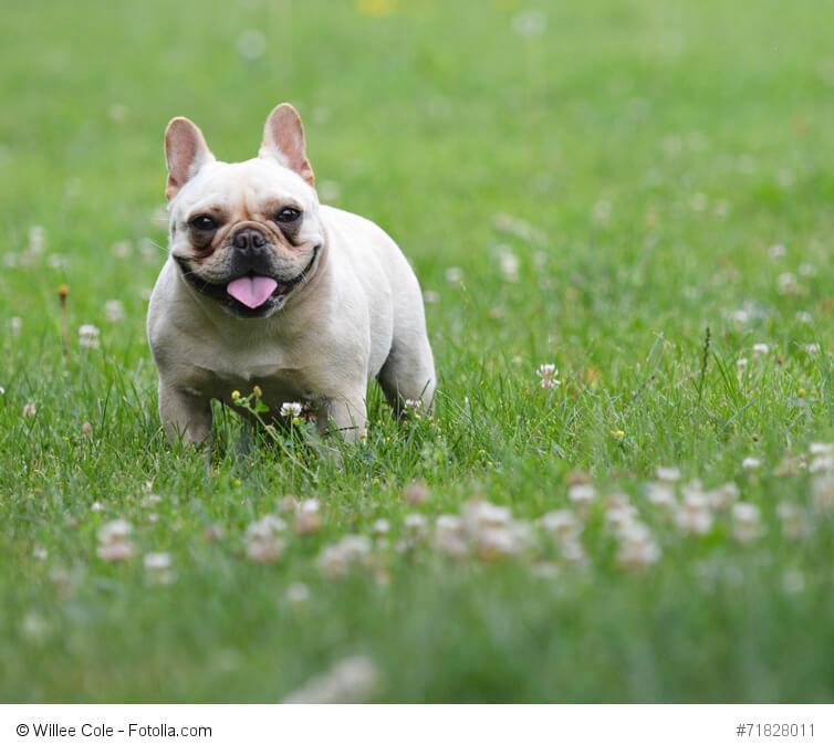 Französische Bulldoggen sind sehr liebenswürdige und witzige Hunde.